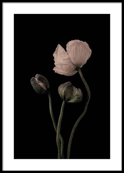 Poppies on Black No2 Plakat i gruppen Plakater / Botanik hos Desenio AB (11175)