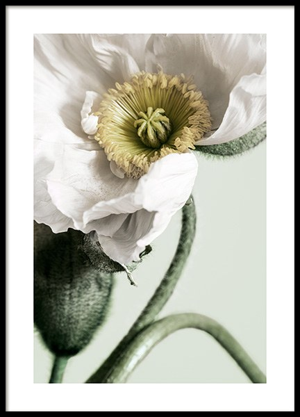 White Poppy Close Up Plakat i gruppen Plakater / Fotokunst hos Desenio AB (12319)