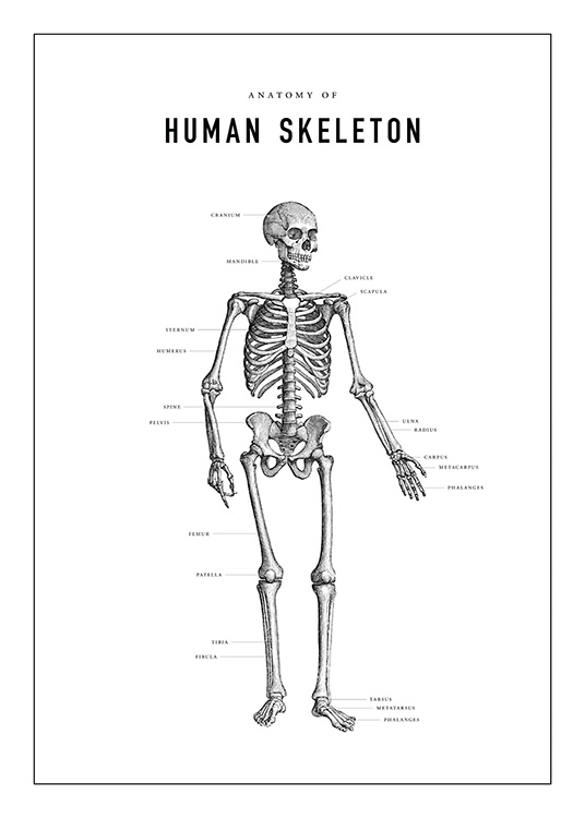 Human Skeleton Anatomy Plakat / Illustrationer hos Desenio AB (13731)